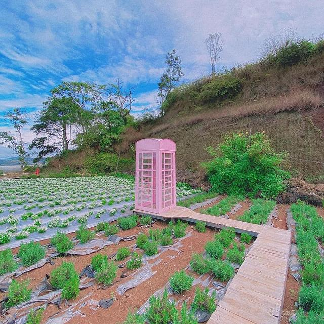 xuất hieôn cánh dồng hoa lavender tím ngắt lớn nhất dà laot, sống ảo bao xuất sắc - anh 10