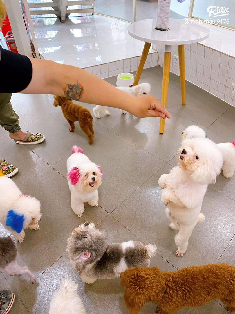 poodle house coffee - dich thi la thien duong cho may dua ghien boss giong tuiiiii - anh 3